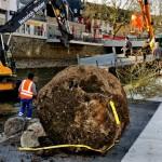 Foto: Vorsichtig werden die mächtigen Baumballen der Silberweiden abgelegt.
